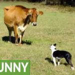 Dog introduced to dairy cow, unexpected playtime ensues