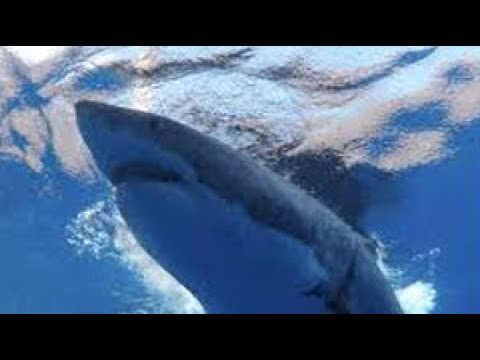 Great White Shark attacks diver's cage