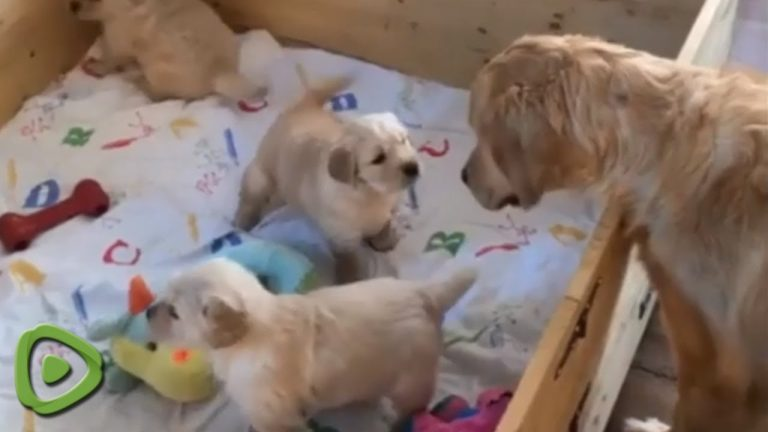 Golden Retriever's reaction to a litter of puppies is absolutely priceless
