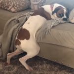 Dog who's not allowed on couch hilariously bends the rules