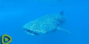 Whale Sharks will swim through you if you don't get out of the way