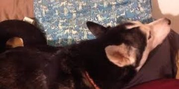 Husky refuses to look at owner, but still sings song with her