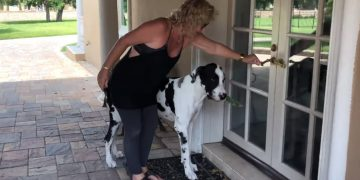 Great Dane loves to carry groceries from car to home
