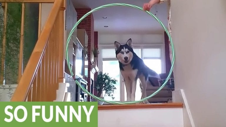 Siberian Husky conquers fear of hula hoops