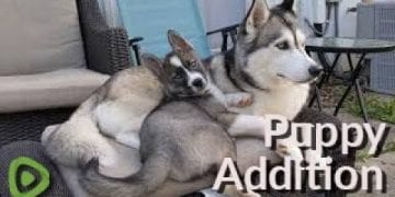 New puppy addition falls in love with older husky