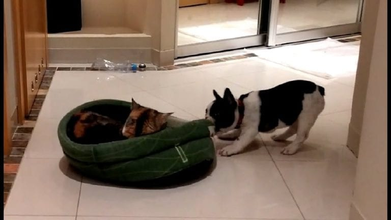 Puppy hilariously attempts to reclaim bed from sleepy cat