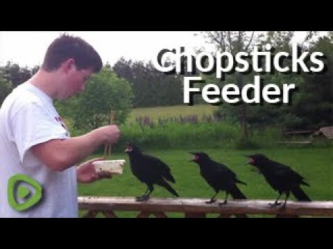 Rescued baby crows learn to eat from chopsticks