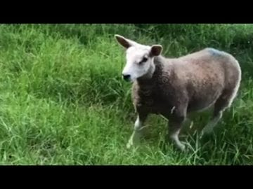 A friendly lamb really wants to play with this little doggy