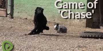 Determined bunny hilariously plays game of 'chase' with dog