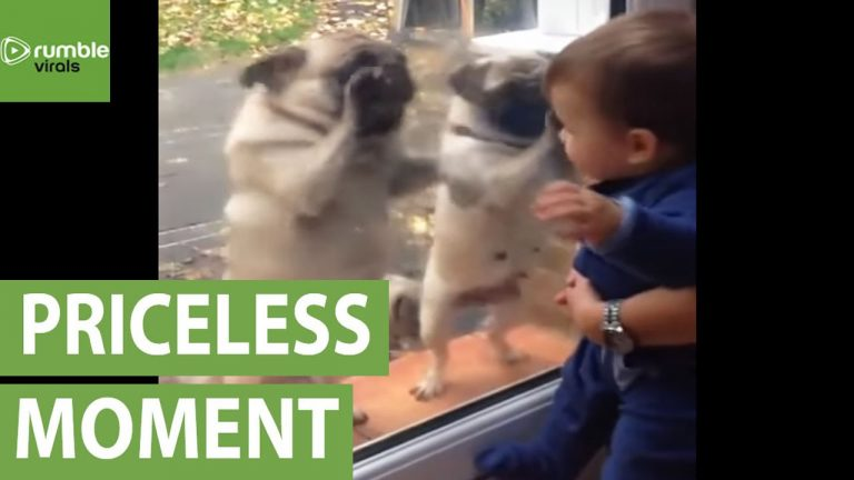 Pugs can't contain their excitement after meeting baby