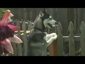 Determined husky finds a way to get over this fence