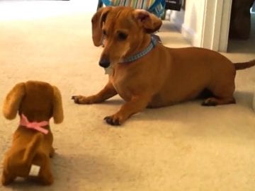 Dachshund Puppy Reacts After Meeting Toy Look-Alike