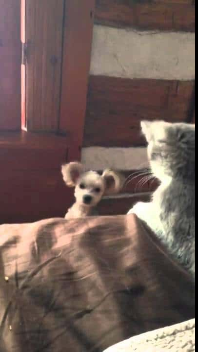 Kitten refuses to let puppy on bed