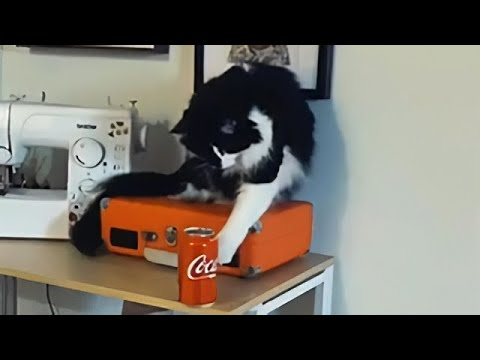 This cat loves knocking stuff over - wait for the end!