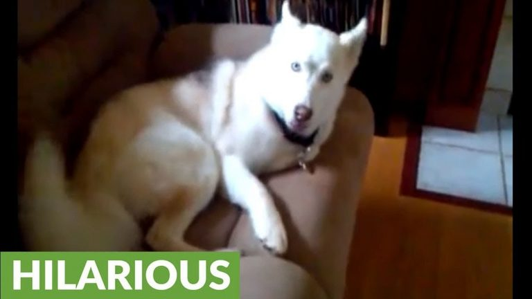 """Husky told to go in kennel, repeatedly says """"NO"""""""