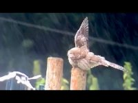 Cute little owl takes a bath in the rain