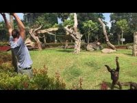 This orangutan aspires to become a fitness instructor