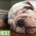 What to expect when you have English Bulldogs