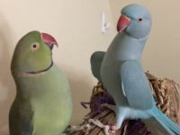 Meet Fabio and Gabriel, the Incredible Talking Parakeets