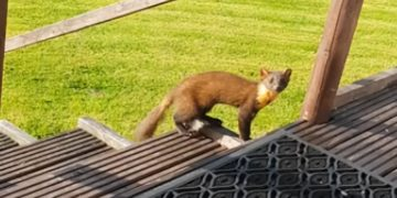 Friendly Pine Marten loves to visit this home's garden