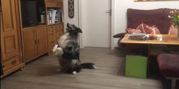 Australian Shepherd manages to performs tricks with hot dog in his mouth