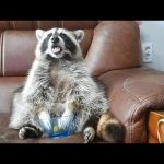 This raccoon's reaction when it runs out of grapes is just priceless