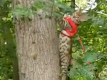 Cat being walked on a leash loves to climb trees