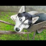 Weirdo husky prefers to nap inside wheelbarrow