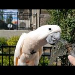 Cockatoo loves to play with water from the hose
