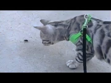 Cat on a leash tries to befriend very large bug