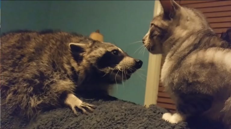 Raccoon frustrated that this cat won't play with her