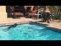 Water-loving dog bunny hops into the pool
