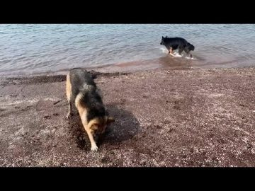 German Shepherds love digging for clams at the beach