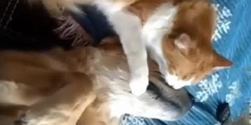 Sweet kitty loves to give doggy best friend tons of kisses
