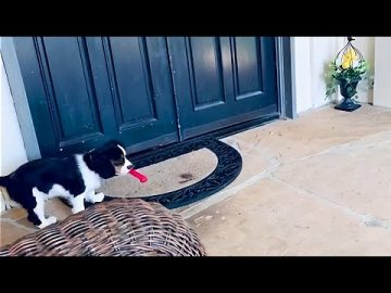 Tiny puppy hears huge Newfoundland knocking at the door