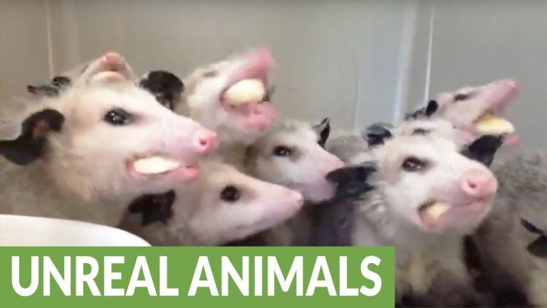 Hungry opossums chow down on bananas