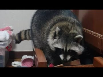 Sneaky raccoon decides to go through all of the dresser drawers