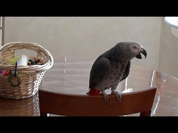 Apologetic parrot is sorry for flying and being demanding