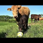 Young calf is very curious about a new ball in her meadow