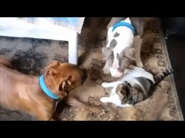 Pair of pit bulls try to befriend a grumpy cat