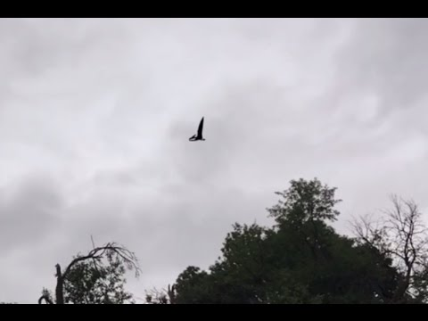 Real Pterosaur spotted over Idaho, USA?