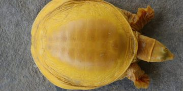 First of its kind - A rare, golden turtle 2