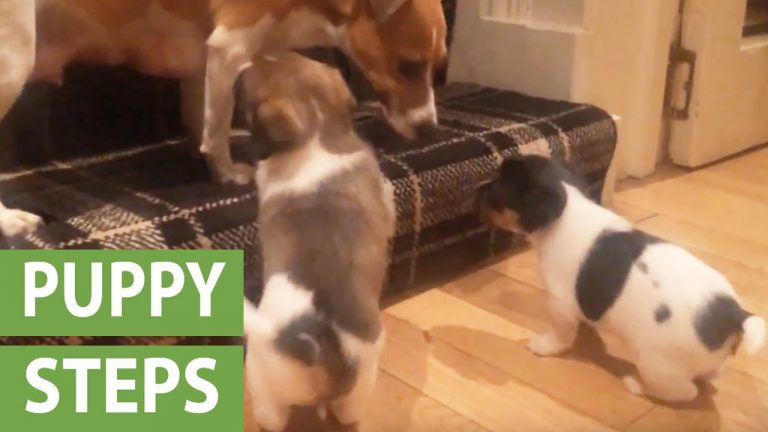 Puppies adorably attempt to climb their first step