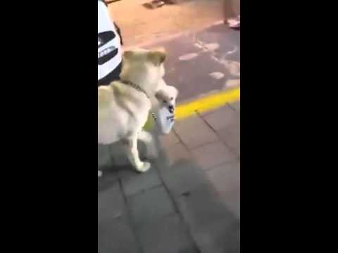 Mother dog carries puppy in plastic bag