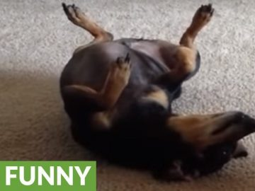 Baby and Chiweenie dog interact for the first time