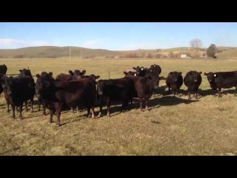 Girls summon herd of cattle by singing!