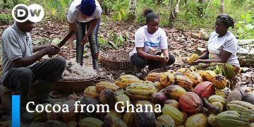 Rethinking cocoa cultivation in Ghana | Global Ideas