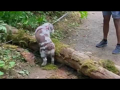 Aussie puppy finds the right motivation to conquer obstacle