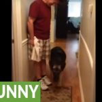 German Shepherd scared of slippery floor, walks backwards on it