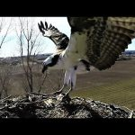 Stunning footage of fish eagle arriving with dinner in its talons